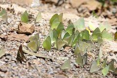 Butterflies in Thailand Royalty Free Stock Images