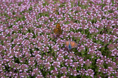 Butterflies on thyme flowers. Close up to butterflies on thyme flowers Royalty Free Stock Photo