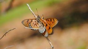 Butterflies. Two butterflies love Stock Image