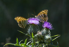 Butterflies. Two orange butterflies share a purple thistle flower Stock Photos