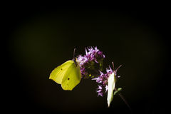 Butterflies. Two species of butterflies on one flower royalty free stock photography