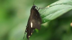 Butterflies stock video