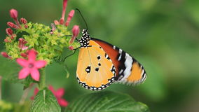 Butterflies. V1. Two macro clips of a butterfly on a flower stock footage