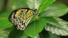 Butterflies. V11. Two macro clips of a butterfly on a flower stock footage