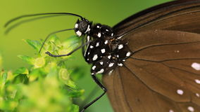 Butterflies. V14. Two macro clips of a butterfly on a flower stock footage