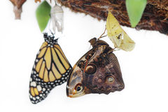 Butterflies were born from cocoons Royalty Free Stock Photography