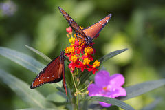 Butterflies in the wild. Royalty Free Stock Photo