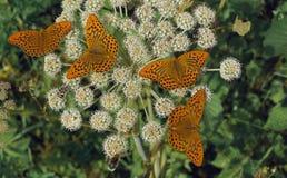 Butterflies Wood Perlamutrovka. Royalty Free Stock Image