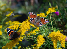 Butterflies on yellow flowers Stock Photo