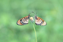 Butterflly Royalty Free Stock Photo