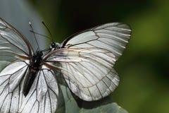 Butterfls blancos Foto de archivo libre de regalías