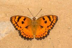 Butterfly小男爵有棕色背景 库存照片