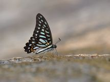 Butterfly ( Graphium leechi) Stock Images