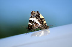 Butterfly 008 Royalty Free Stock Images