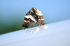 Butterfly 010. Two butterflys on a roof royalty free stock images