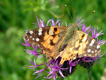 Butterfly. On a thistle Royalty Free Stock Images