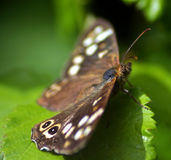 Butterfly. A butterfly suns itself on a leaf royalty free stock photography