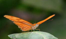 Butterfly 1. Julia butterfly stock photos