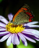 Butterfly. Resting on a flower Stock Photography