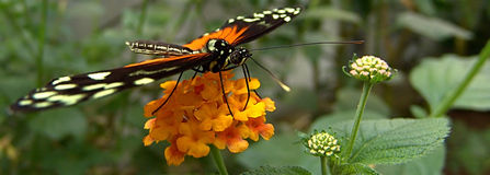 Butterfly. A butterfly on a flower Stock Photography