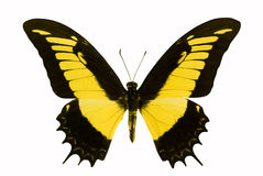 Butterfly. In the white background stock photography