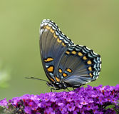 Butterfly. A Red-spotted purple butterfly on purple flowers Stock Photography