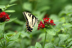 Butterfly. A tigar swallowtail butterfly feeding in the red flowers Stock Images
