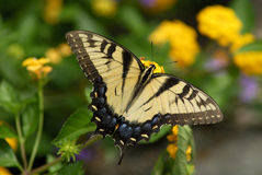 Butterfly. A tigar swallowtail butterfly in detail Royalty Free Stock Image