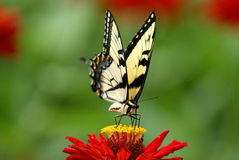 Butterfly. Close-up of a tigar Swallowtail butterfly on red zinnia Stock Photo