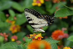 Butterfly. A tigar swallowtail butterfly on the flowers Stock Photography