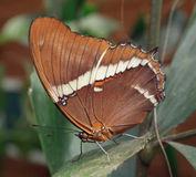 Brown Butterfly. A butterfly perched on a leaf Stock Photography