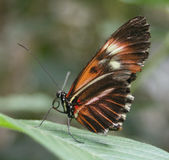 Butterfly. A butterfly perched on a leaf Royalty Free Stock Image