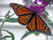Butterfly. Beautiful orange monarch butterfly on butterfly bush royalty free stock images
