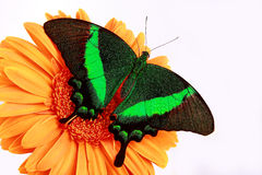 Butterfly. Green butterfly on a red flower Royalty Free Stock Photo