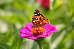 Butterfly. Image of a butterfly on a pink flower on a green background Royalty Free Stock Photo