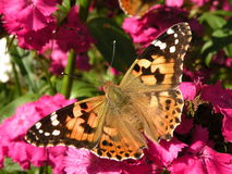 Butterfly. Beautiful tortoiseshell butterfly sitting on a pink carnation Royalty Free Stock Images