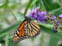 Butterfly. Beautiful orange monarch butterfly on butterfly bush Stock Photo