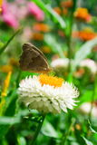 Butterfly. Beautiful butterfly on a white flower Stock Photography