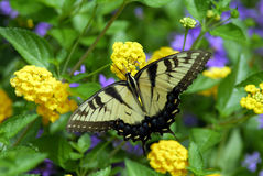 Butterfly. A swallowtail butterfly on yellow flowers Royalty Free Stock Images