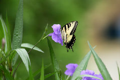Butterfly. A swallowtail butterfly on a purple flower Royalty Free Stock Image