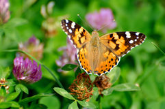Butterfly Royalty Free Stock Image