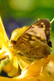 Butterfly. A White and brown Butterfly in the Summer Royalty Free Stock Photos