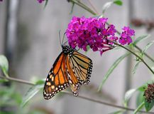 Butterfly. Beautiful orange monarch butterfly on butterfly bush Royalty Free Stock Images