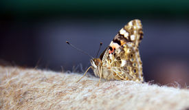 Butterfly. Little fox on the blanket royalty free stock photo