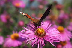 Butterfly. The butterfly on a flower Royalty Free Stock Images