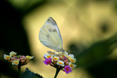 Butterfly. White Butterfly sitting on a flower Stock Photography