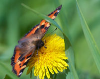 Butterfly. Beautiful Butterfly on yellow flower Stock Photography