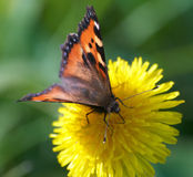 Butterfly. Beautiful Butterfly on yellow flower Stock Photo