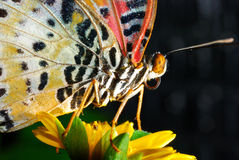 Butterfly. Wing of butterfly and butterfly clamp to flower Stock Image