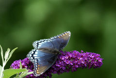 Butterfly. A red-spotted purple butterfly on purple flowers Royalty Free Stock Photography